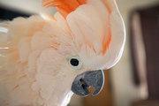 Moluccan Cockatoo baby Hatching