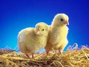 Цыплята бройлеров суточные цыплята