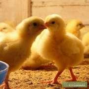 продам цыплят бройлеров суточных и подрощеных