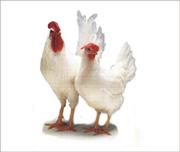 Цыплята несушки порода Хай-Лайн белая