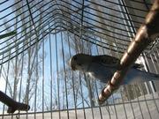 Продам птенца волнистого попугая.