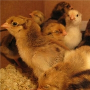 Продам цыплят Ломан бРАУН