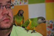 Ручные попугаи лучшие говоруны Жако и мини жако - сенегальский попуг