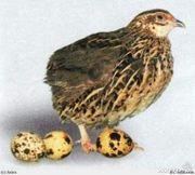 Продам молодняк перепелов,  инкубационные и столовые яйца, помёт,  тушки.