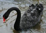 Домашние лебеди различных видов