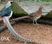 Инкубационные яйца породы фазан алмазный