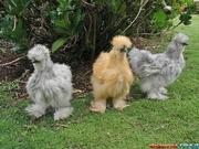 Продам цыплят китайских шелковых кур