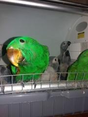 Птенцы выкормыши эклектуса.