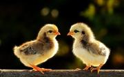 Продаж курчат м'ясо-яєчних порід.