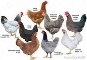 Суточный цыпленок Доминанта.